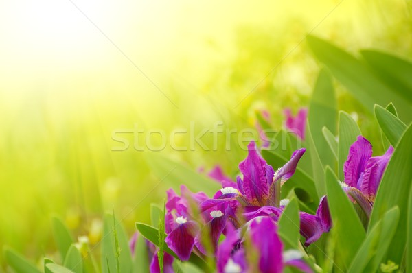 Spring Flowers in the Bright Sunlight Stock photo © maxpro
