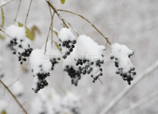 Black Elder Berries Covered With Fresh Snow Stock photo © maxpro