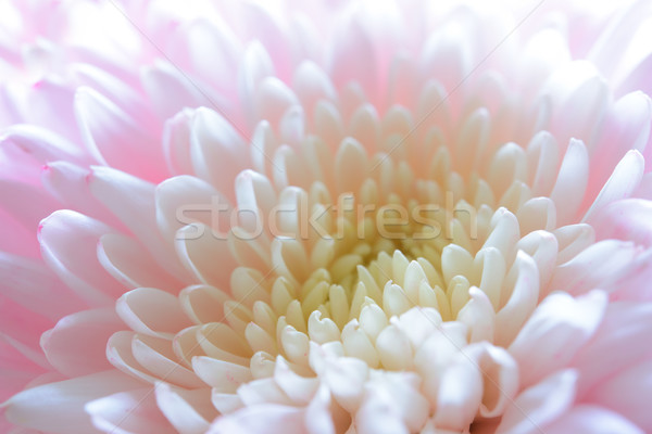 Close Up Image of the Beautiful Pink Chrysanthemum Flower Stock photo © maxpro