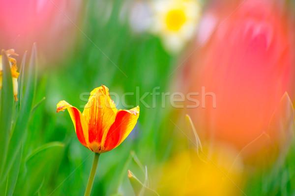 Beautiful Multicolored Tulip Flower in Bright Spring Field Stock photo © maxpro