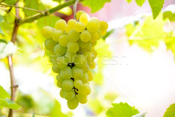 Imagem maduro branco uvas videira Foto stock © maxpro