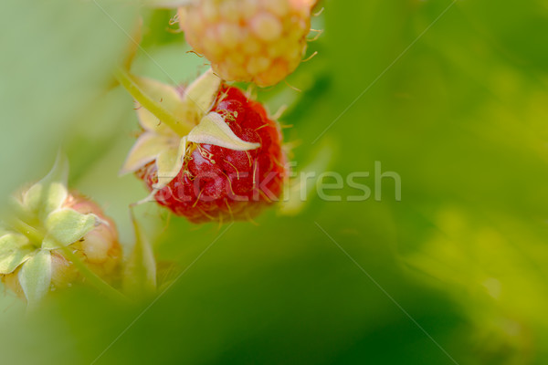 Close-up Image of Red Ripe Raspberries Growing in Garden Stock photo © maxpro