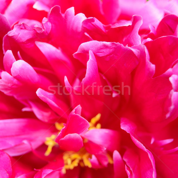 Closeup of Beautiful Pink Peony Flower Stock photo © maxpro