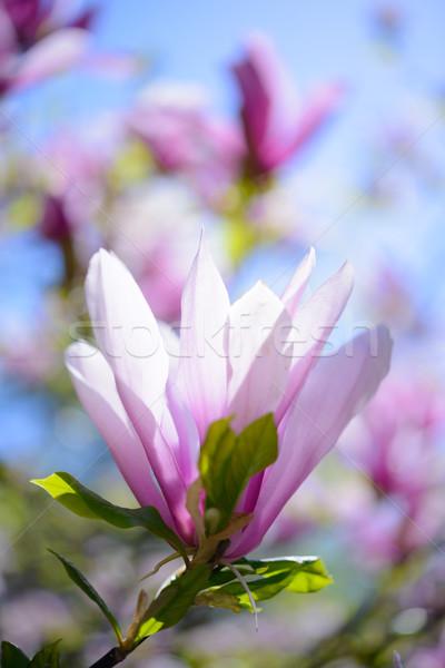 Piękna różowy magnolia kwiaty Błękitne niebo wiosną Zdjęcia stock © maxpro