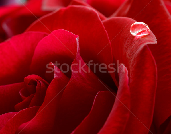 Water Drop on the Beautiful Red Rose. Macro Flower Background Photo Stock photo © maxpro