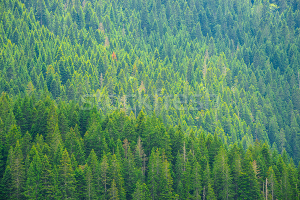 Beautiful Fir Forest at the National Park Durmitor in Fog, Montenegro, Balkans Stock photo © maxpro
