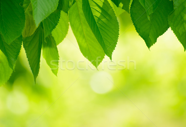 Fresh Spring Green Leaves Over Bright Background Stock photo © maxpro