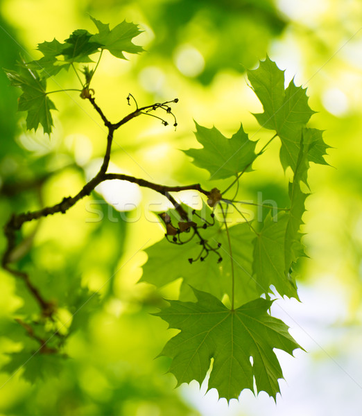 Spring Green Maple Leaves Over Blurred Background Stock photo © maxpro