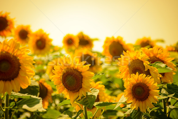 Stock photo: Field of Beautiful Bright Sunflowers at Sunset