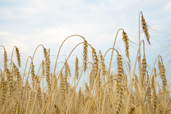Golden Ripe Wheat Ears Against the Blue Sky Stock photo © maxpro