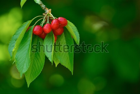 Sweet and Juicily Ripe Cherries on a Tree Stock photo © maxpro