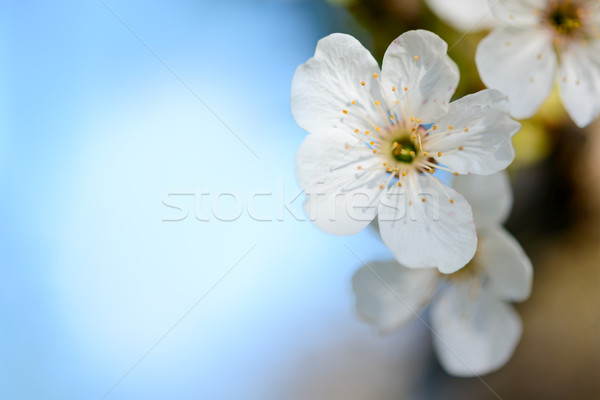 Stock photo: Spring Blossoming Cherry Flowers on Blurred Blue Background