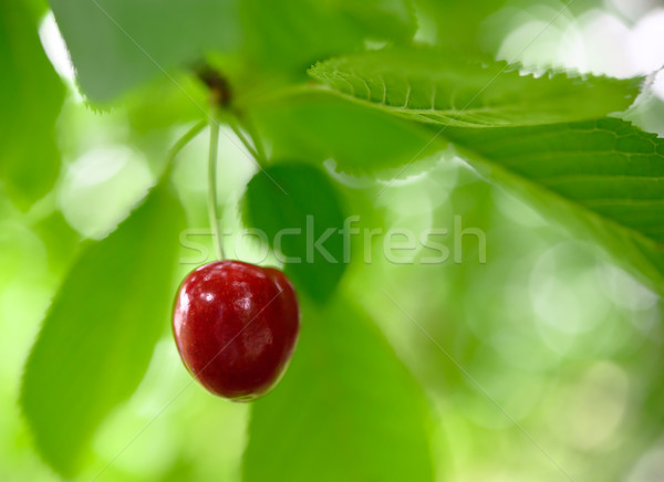 Sweet and Juicily Ripe Cherries on a Tree Branch Stock photo © maxpro