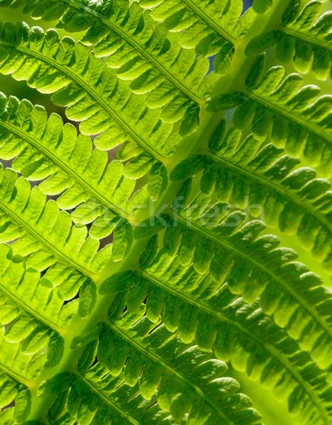 Afbeelding vers groene varen blad Stockfoto © maxpro