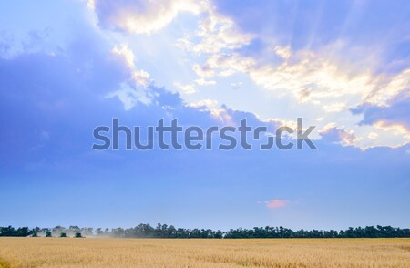 Four Combine Harvesters Harvesting Wheat in Field under Beautiful Sunset Sky Stock photo © maxpro
