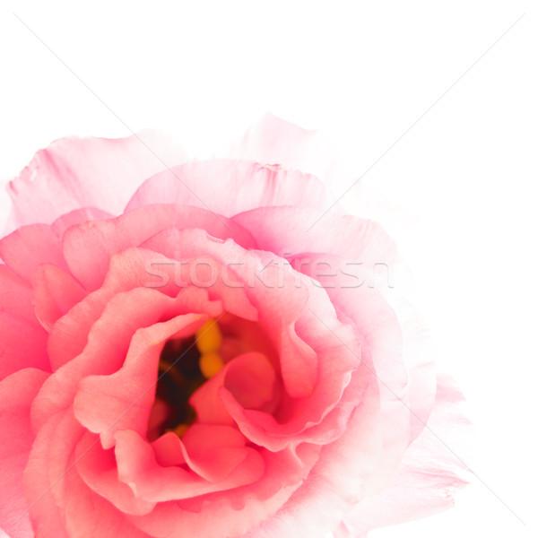 Beautiful Eustoma Flower on the White Background Stock photo © maxpro