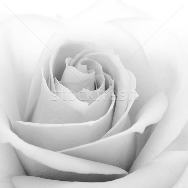 Black and White Close up Image of Beautiful Rose. Macro Flower Background Photo Stock photo © maxpro