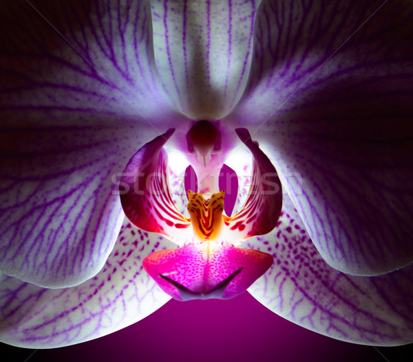 Stock photo: Beautiful Pink Orchid Flower on Violet Background