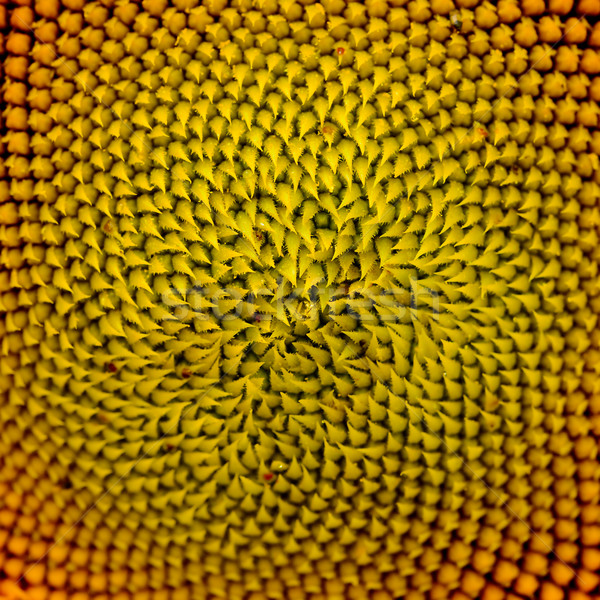 Pattern of Beautiful Bright Sunflower. Summer Flower Background Stock photo © maxpro