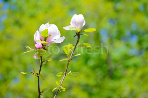 Beautiful Pink Magnolia Flowers on Green Background. Spring Floral Image Stock photo © maxpro