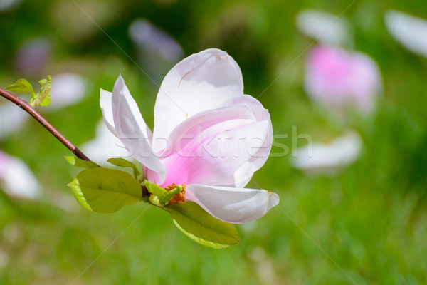 Stock photo: Beautiful Pink Magnolia Flowers on Green Background. Spring Floral Image