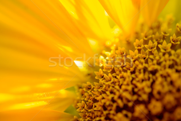 Stock photo: Close-up of Beautiful Bright Sunflower. Summer Flower Background.