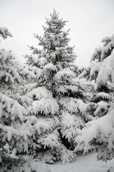 Christmas Trees under Beautiful Snow Cover. Winter Landscape Stock photo © maxpro