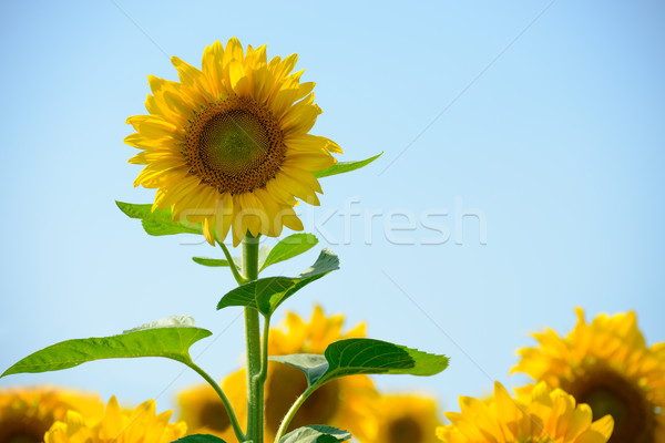 Stock photo: Beautiful Bright Sunflowers Against the Blue Sky