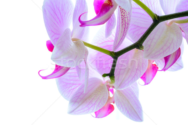 Stock photo: Beautiful Pink Orchid Flowers Isolated on the White Background