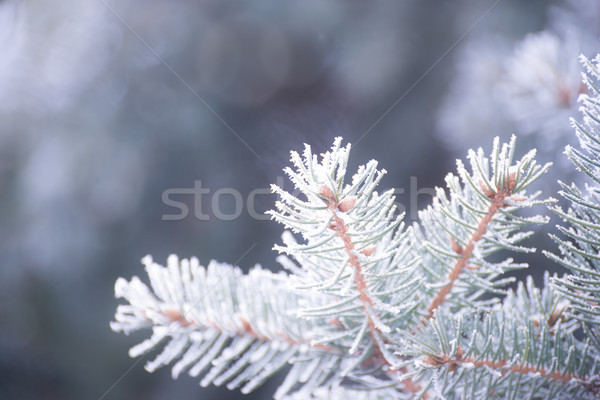 Winter and Christmas Background. Close-up Photo of Fir-tree Branch Covered with Frost. Stock photo © maxpro