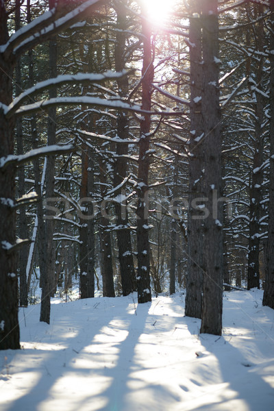 Stock photo: Sun in Beautiful Pine Winter Forest. Trees in Snow.
