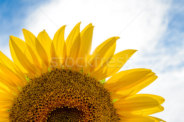 Beautiful Bright Sunflower Against a Blue Sky Stock photo © maxpro