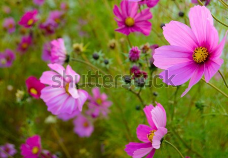 Bright Beautiful Pink Flowers on the Green Blurred Background Stock photo © maxpro