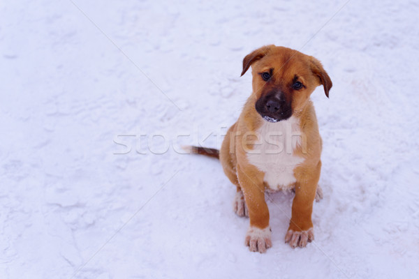Red puppy in the snow, attentively looking at the camera. Copy s Stock photo © maxpro