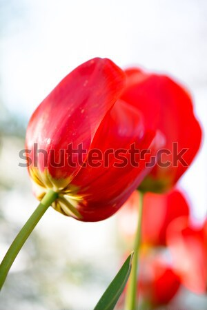 Beautiful Red Tulip on Bright Background Stock photo © maxpro