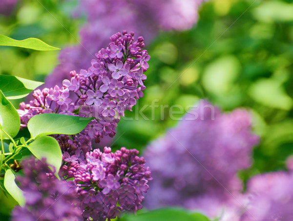 Purple Lilac? Flowers on the Blurred Green Background Stock photo © maxpro