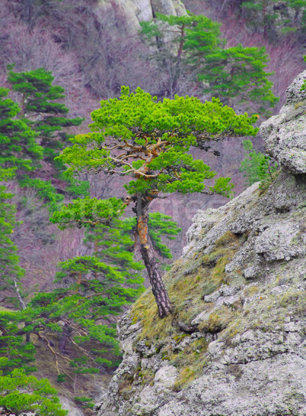 Strong Pine on the Rock in the Beautiful Mountains of Ukraine Stock photo © maxpro