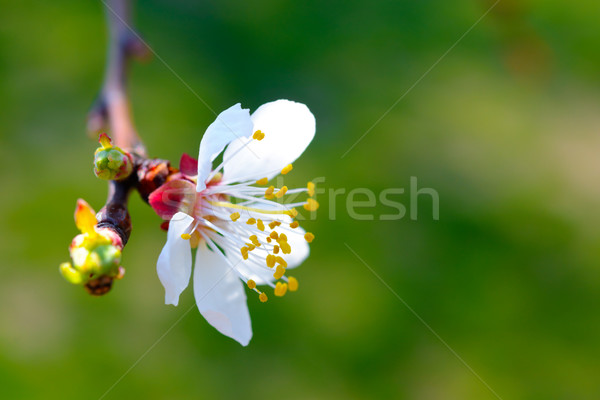 White Spring Flower in Bright Sun Light on Blurred Green Background Stock photo © maxpro