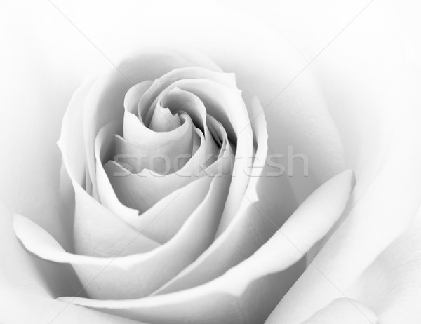Black and White Close up Image of Beautiful Pink Rose. Flower Background Stock photo © maxpro