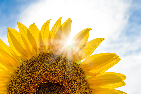 Bright Sun Shines Through the Petals of Beautiful Sunflower Stock photo © maxpro
