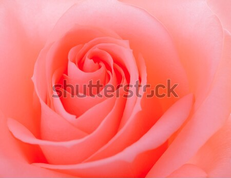 Stock photo: Beautiful Pink Rose Close up. Flower Background