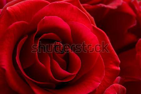 Stock photo: Water Drop on the Beautiful Red Rose. Macro Flower Background Photo