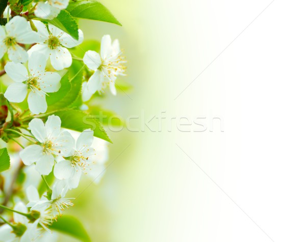Spring blossoming flower on the white background. Space for text Stock photo © maxpro