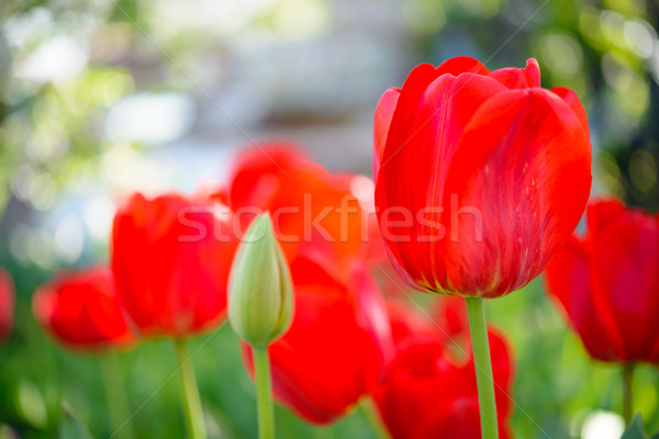 Beautiful Red Tulips in Field. Flower Image with Bright Background Stock photo © maxpro