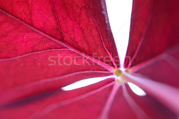 Beautiful Violet Sorrel Leaf on the White Background. Macro Photo Stock photo © maxpro