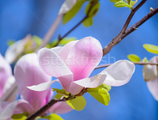 Beautiful Pink Magnolia Flowers on Blue Sky Background. Spring Floral Image Stock photo © maxpro