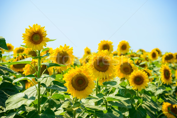 Field of Beautiful Bright Sunflowers Against the Blue Sky Stock photo © maxpro