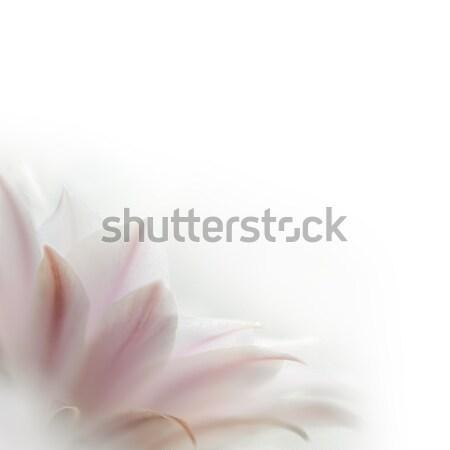 ピンク サボテン 花 白 美しい 愛 ストックフォト © maxpro