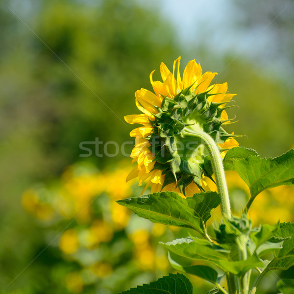 Beautiful Bright Sunflower in the Field Stock photo © maxpro