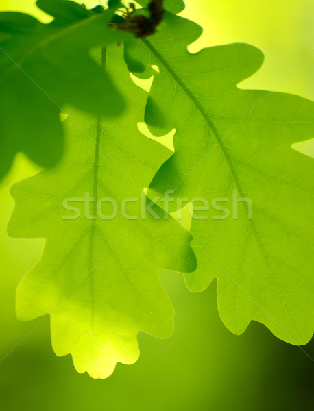 Spring Green Oak Leaves Over Blurred Background Stock photo © maxpro